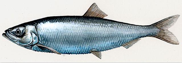 The herring