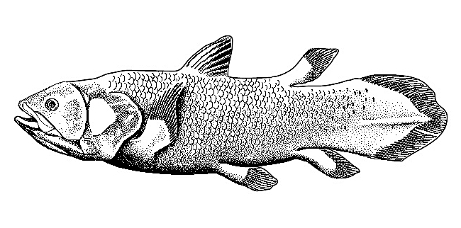 The lobe-finned coelocanth