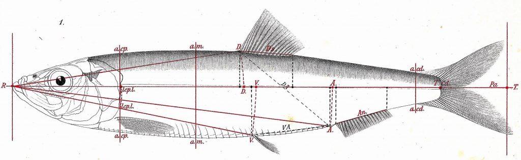 Measuring the herring - Heincke illustration