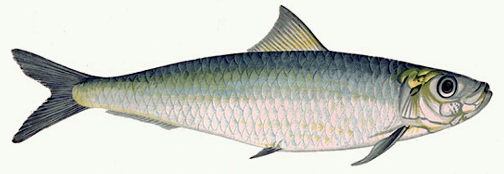 The European pilchard or sardine